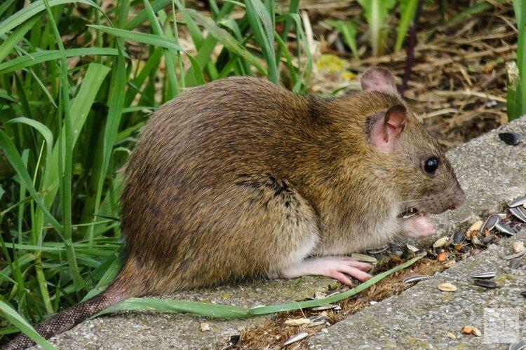 """Boeren waarschuwen voor rattenplaag: """"Ze komen 's nachts en eten maiszaadjes op"""""""
